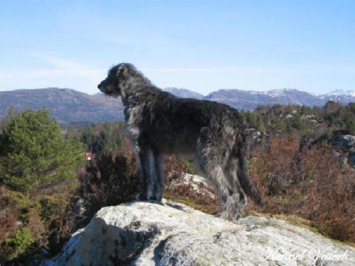 skotsk terrier dogs